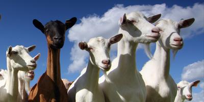 action-thumb_santa-cruz-goats