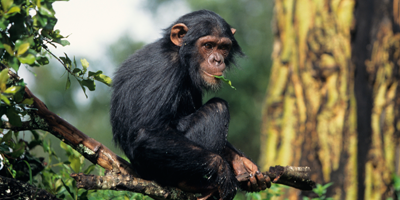 action-thumb_retire-all-chimps