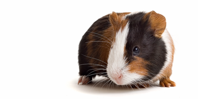 guinea pigs and hamsters american anti vivisection society
