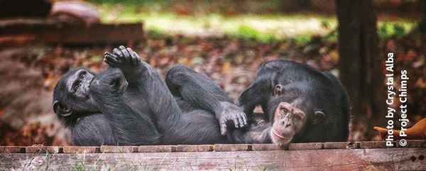 Amy and Almasi from Project Chimps