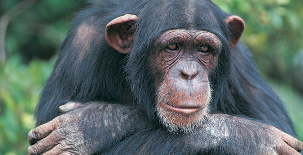 Take Action for Chimps