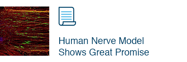 Human Nerve Model Shows Great Promise