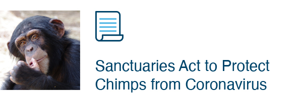 Sanctuaries Act to Protect Chimps from Coronavirus
