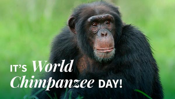 It's World Chimpanzee Day!